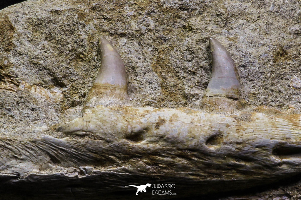 07029 - Top Grade Halisaurus arambourgi (Mosasaur) Partial Left Hemi-Maxillary in Matrix Cretaceous