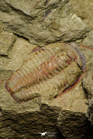 21046 - Top Rare Association 2 Euloma filacovi Lower Ordovician Trilobites Fezouata Fm