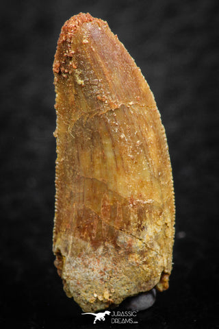 07068 - Beautiful 0.96 Inch Abelisaur Dinosaur Tooth Cretaceous KemKem Beds