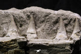 07032 - Top Rare Mosasaurus baugei 11.81 Inch Partial Right Maxillary in Matrix Cretaceous
