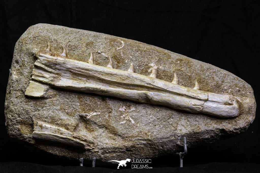 07033 - Finest Grade Halisaurus arambourgi (Mosasaur) Partial Left Hemi-Jaw in Matrix Cretaceous