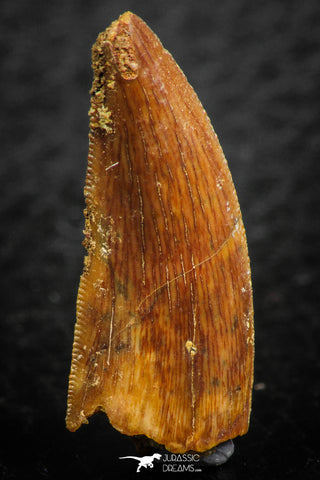 07075 - Top Beautiful 1.03 Inch Abelisaur Dinosaur Tooth Cretaceous KemKem Beds