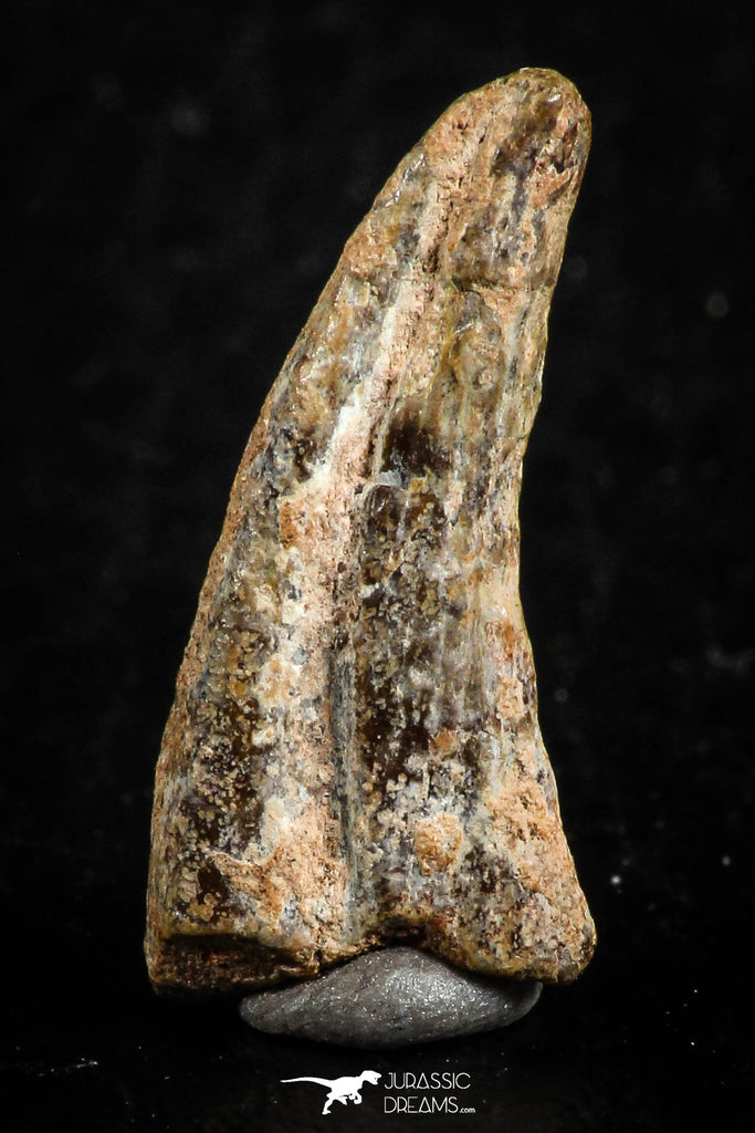 07080 - Top Rare 0.86 Inch Unidentified Theropod Dinosaur Hand (Manus) Partial Claw Cretaceous KemKem
