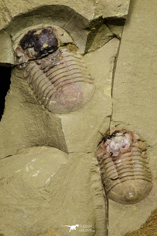 21064 - New Species Symphysurus ebbestadi n. sp. Plate with 2 Specimens Lower Ordovician Trilobites