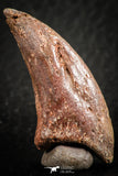 07084 - Top Rare 1.51 Inch Unidentified Theropod Dinosaur Toe Foot Claw Cretaceous KemKem