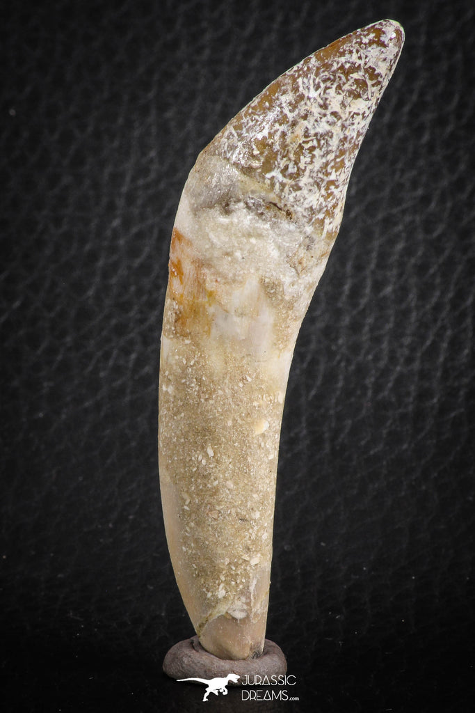 07091 -  Extremely Rare 2.86 Inch Pappocetus lugardi (Whale Ancestor) Incisor Rooted Tooth