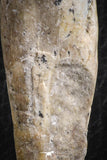 07092 -  Extremely Rare 3.06 Inch Pappocetus lugardi (Whale Ancestor) Incisor Rooted Tooth