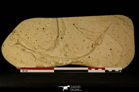 30077- Large Rhynchodercetis Needle Fish Fossil - Upper Cretaceous Morocco