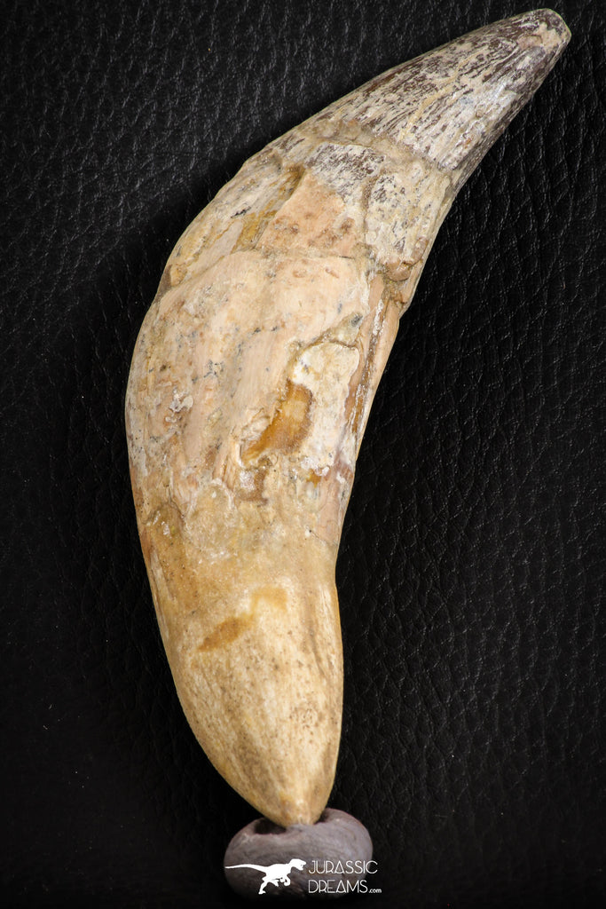 07095 -  Extremely Huge 5.47 Inch Pappocetus lugardi (Whale Ancestor) Incisor Rooted Tooth