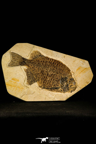 30079- Superb 10.31 Inch Phareodus Fish - Scarce Species - Eocene Wyoming