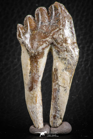 07098 -  Top Rare 2.39 Inch Pappocetus lugardi (Whale Ancestor) Molar Rooted Tooth