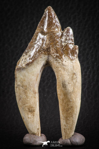 07099 -  Top Rare 2.94 Inch Pappocetus lugardi (Whale Ancestor) Molar Rooted Tooth