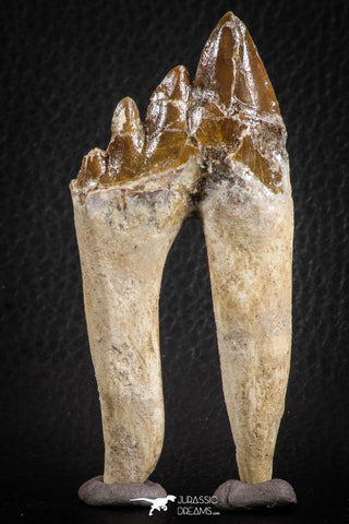 07100 -  Top Rare 3.54 Inch Pappocetus lugardi (Whale Ancestor) Molar Rooted Tooth
