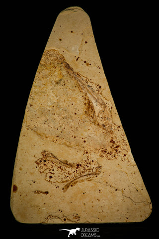 30083- Great Association of 4 Unclassified Fossil Fishes - Upper Cretaceous Morocco