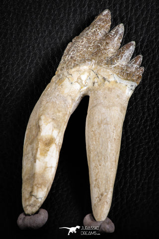 07101 -  Top Rare 4.50 Inch Pappocetus lugardi (Whale Ancestor) Molar Rooted Tooth