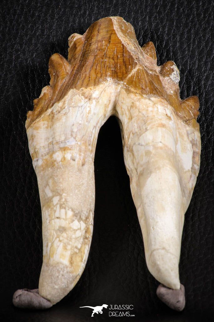 07102 -  Top Rare 4.95 Inch Pappocetus lugardi (Whale Ancestor) Molar Rooted Tooth