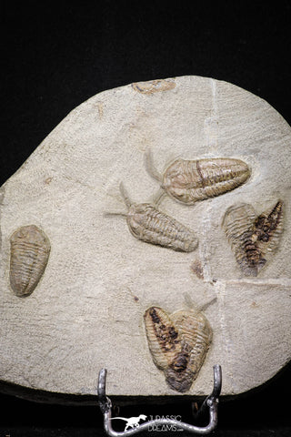 20029 - Museum Grade Plate with 7 Bavarilla  zemmourensis with Preserved Antennae Lower Ordovician Trilobites