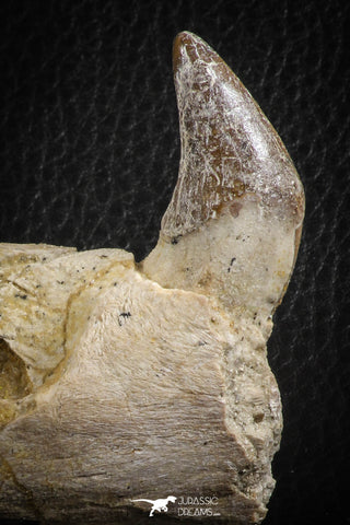 07103 -  Extremely Rare 2.57 Inch Pappocetus lugardi (Whale Ancestor) Incisor Rooted Tooth in Jaw Bone