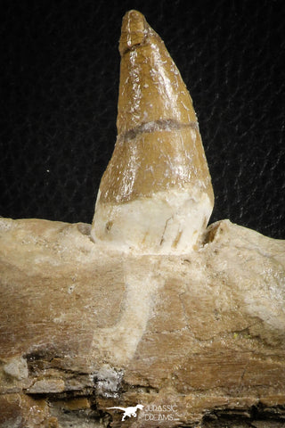 07104 -  Extremely Rare 4.92 Inch Pappocetus lugardi (Whale Ancestor) Incisor Rooted Tooth in Jaw Bone