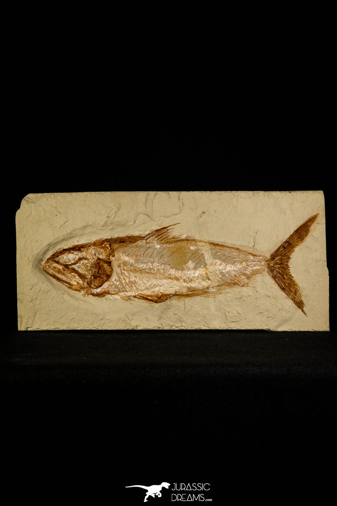 30092- Top Rare 8.86 Inch Halek sp Fish - Cretaceous Lebanon