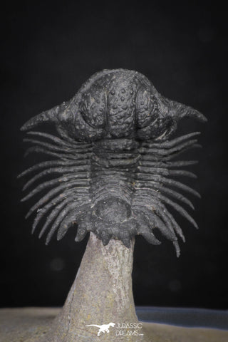 "20036 - Top Rare Lichid Trilobite 0.74 Inch ""Flying"" Acanthopyge (Lobopyge) bassei Lower Devonian"