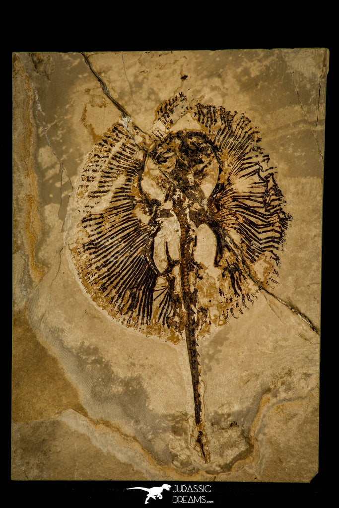 30105- Museum Grade Cyclobatis major Ray - Cretaceous Lebanon