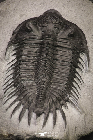 20037 - Outstanding Spiny 3.81 Inch Comura bultyncki Middle Devonian Trilobite