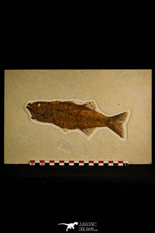 30115 - Top Quality 8.31 Inch Mioplosus labracoides Fossil Fish - Eocene Wyoming