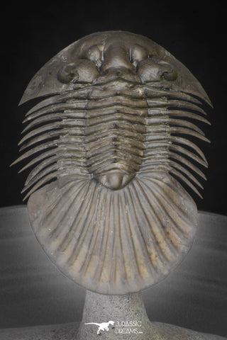 "20040 - Top Quality ""Flying"" 1.72 Inch Platyscutellum sp Lower Devonian Trilobite"