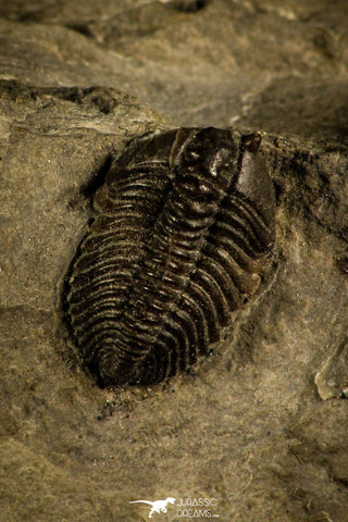 30121 - Beautiful Pseudocybele nasuta Lower Ordovician Trilobite Utah USA