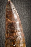 07132 -  Top Huge 5.76 Inch Spinosaurus Dinosaur Tooth Cretaceous
