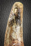 07134 -  Top Huge Restored 4.72 Inch Spinosaurus Dinosaur Tooth Cretaceous