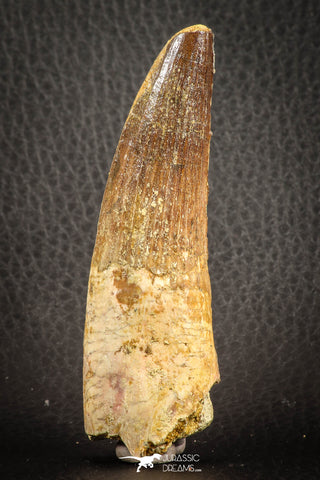 07137 - Top Quality Unbroken 3.30 Inch Spinosaurus Dinosaur Tooth Cretaceous