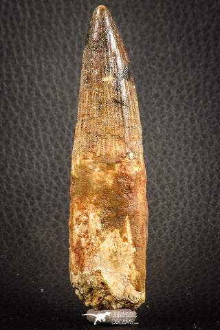 07139 - Partial Rooted 3.86 Inch Spinosaurus Dinosaur Tooth Cretaceous