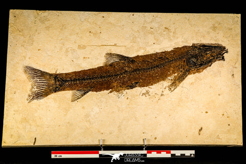 30145- Rare Large 17.44 Inch Notogoneus osculus Fossil Fish - Scarce Species - Eocene Wyoming