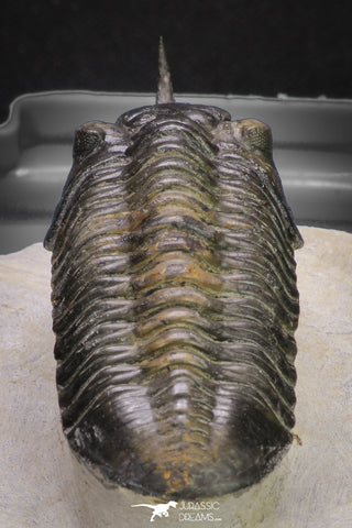 "20048 - Well Prepared ""Flying"" 2.65 Inch Morocconites malladoides Middle Devonian Trilobite"