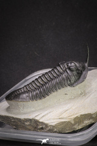 "20049 - Well Prepared ""Flying"" 3.13 Inch Morocconites malladoides Middle Devonian Trilobite"