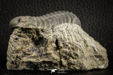 07150 - Top Detailed 2.20 Inch Austerops sp Lower Devonian Trilobite