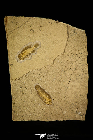 30152 - Top Quality Association of 3 Perciformes Fossil Fishes - Oligocene, Lebanon
