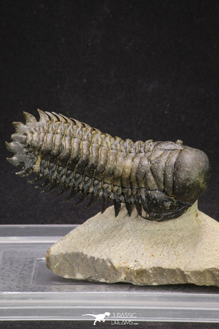 "20053 - Top Well Prepared ""Flying"" 3.42 Inch Crotalocephalina gibbus Lower Devonian Trilobite"
