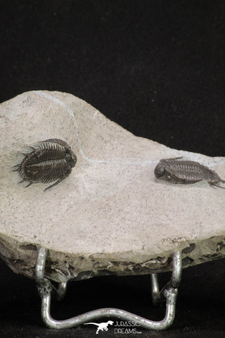 20059 - Top Quality 2 Associated Basseiarges mellishae Middle Devonian Trilobites