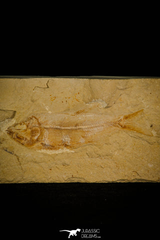 30162- Nicely Preserved 4.24 Inch Sedenhorstia sp Fossil Fish - Cretaceous Lebanon