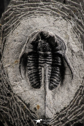 "07160 - Nicely Preserved 1.39 Inch ""Devil Horned"" Cyphaspis walteri Devonian Trilobite"