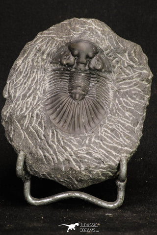20061 - Top Quality 1.74 Inch Platyscutellum sp Lower Devonian Trilobite