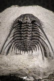 07162 - Nicely Preserved Spiny 1.03 Inch Leonaspis sp Middle Devonian Trilobite