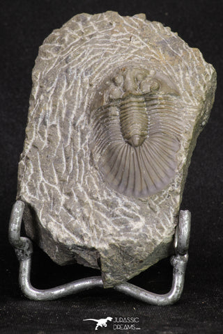 20062 - Top Quality 1.62 Inch Platyscutellum sp Lower Devonian Trilobite