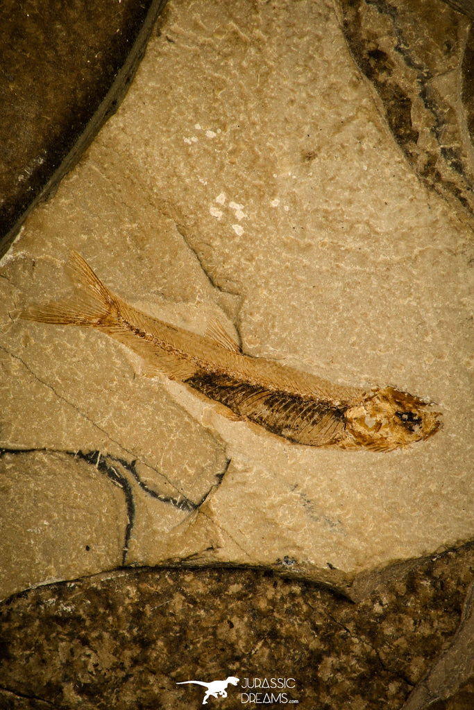 30165 - Nice Preserved 1.42 Inch Unidentified Fossil Fish Lower Cretaceous - France