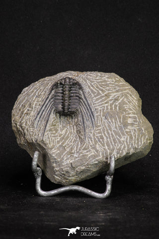 20064 - Nicely Preserved Spiny 1.65 Inch Leonaspis sp Middle Devonian Trilobite