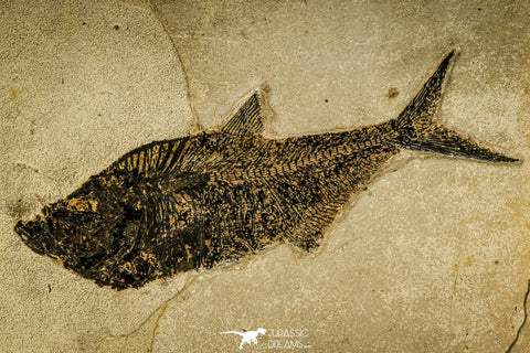 30170 - Top Quality 18.42 Inch Diplomystus dentatus Fossil Fish From 27.55 Inch Layer