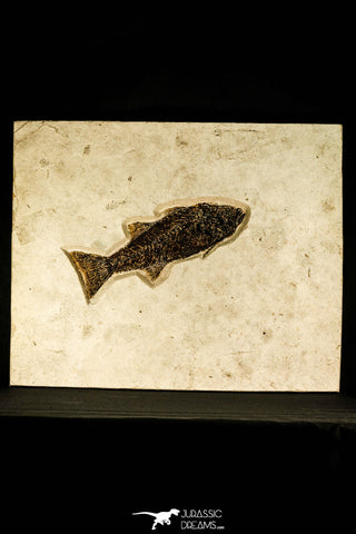 30171 - Top Quality 13.27 Inch Mioplosus labracoides Fossil Fish in Large Layer